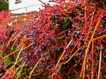 I couldn't get enough of these winter berries.